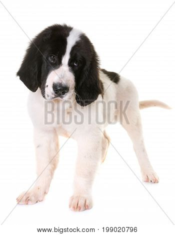 puppy landseer in front of white background