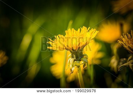 Beautiful Yellow Dandelions Blooming In Springtime