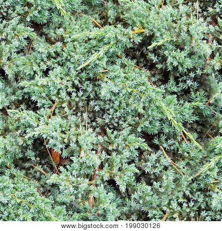seamless blue fluffy fir needles texture background.