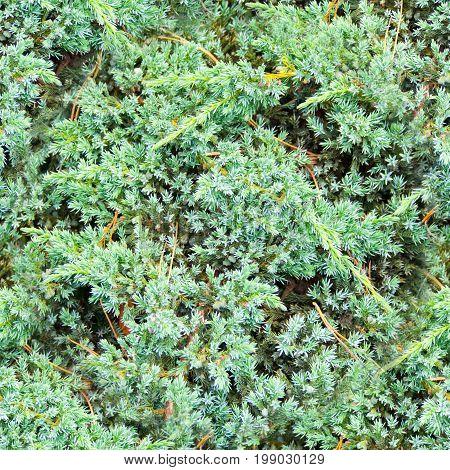 seamless blue fluffy fir needles texture background
