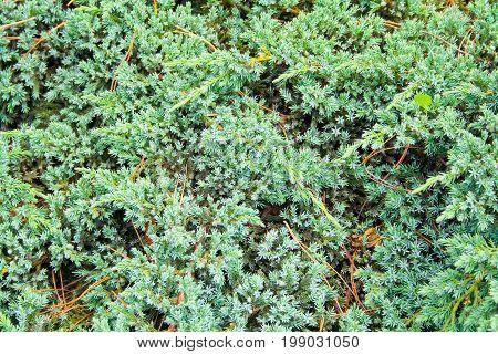 blue fluffy fir tree needles background texture.