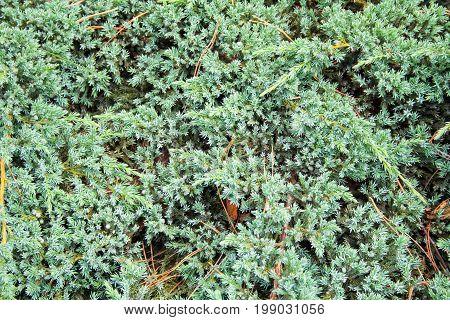 summer blue fluffy fir needles background texture.