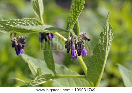 Comfrey plants flowering in a garden genus symphytum Bocking 14 cultivar of Russian Comfrey flowers also spelt comphrey a herb which is prized by organic gardeners as it attracts beneficial insects and can be used in compost as a mulch and to make natural