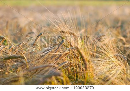 Summer evening. In the frame is a field with spikes of ripe rye. Ukraine Cherkasy region