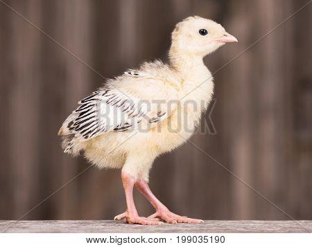 Cute little newborn chicken turkey, on wooden background. One young nice big bird.