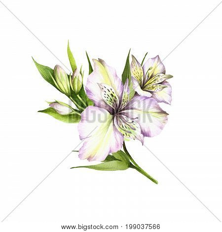 Composition with alstroemeria. Hand draw watercolor illustration.