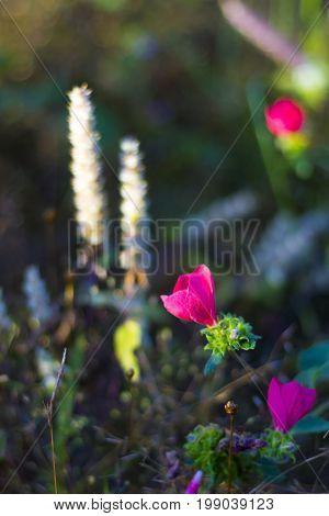 MELASTOMATACEAE; Osbeckia stellata Ham. flower bokeh with backgorund at Mukdahan Nation Park Thailand.