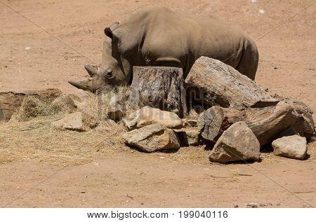 African wildlife safari rhinoceros
