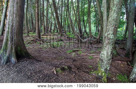 Ancient Wilderness Boreal Forest Panorama. Centuries old cedar trees in a northern Michigan forest.