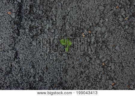 flower sprout grows through urban asphalt ground