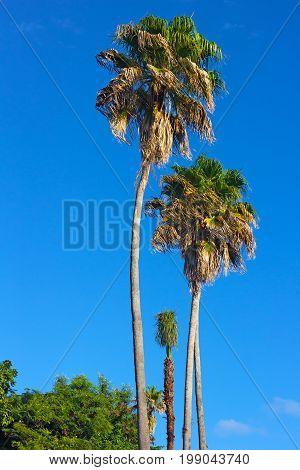 Tall palm trees on St Thomas Island USVI. Beautiful palm trees and tropical flourishing plants under a blue sky.