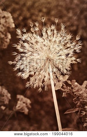 Dried Star of Persia seedpod flower in sepia tone