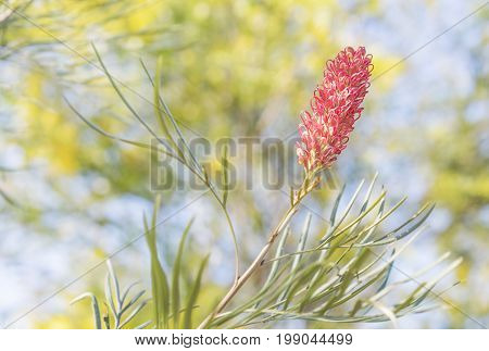 Australian spring flowers with new pink flower bloom on Spider Flower Grevillea with yellow wattle trees in background