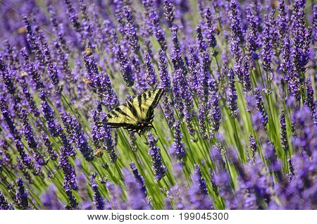 Lavender field of flowers with closeup of yellow swallowtail butterfly