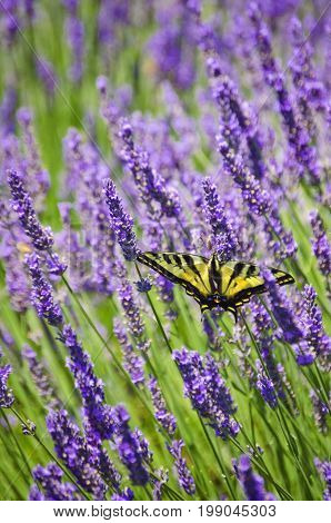 /Lavender flowers closeup with yellow swallowtail butterfly