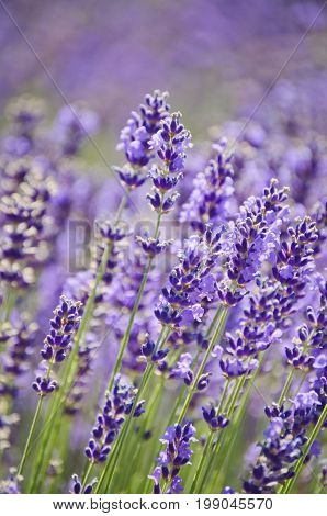 Lavender Background of closeup lavender flowers in field