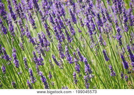 Purple lavender flowers in meadow background in daylight