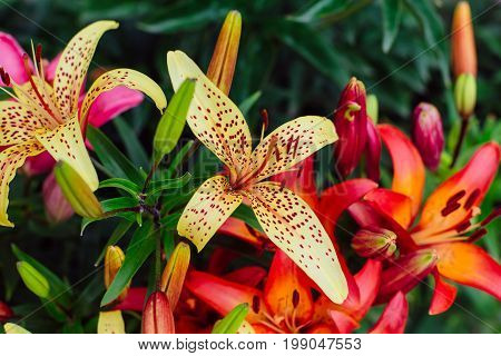 Beautiful colorful lilies in the garden. Tiger lily.