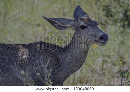 smiling mule deer head shot in Guadelupe Mountains National Park Texas