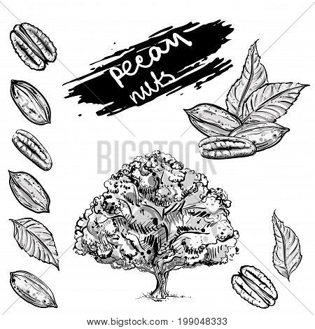 Hand drawn gray scale vector illustration set of pecan nuts, leaf, tree. sketch. Vector eps 8.
