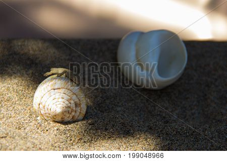 The lizard on the shell is hiding in the shade. Blur
