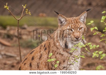 It is image of big cat Eurasian lynx.