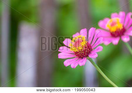 Zinnia Elegans Flower Blooming In The Garden For Background.