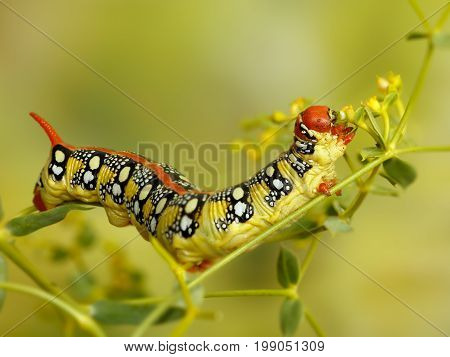Closeup caterpillar of Spurge hawk-moth (Hyles euphorbiae) eats the plant Euphorbia stepposa