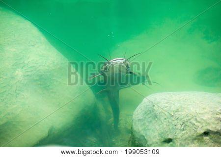 Catfish Clarias In Green Lake Their Natural Habitat