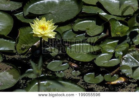 Yellow water lily in a pond with leaves close-up wallpaper
