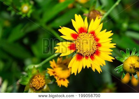 Close up of yellow and red Gaillardia spp. Blanket Flower