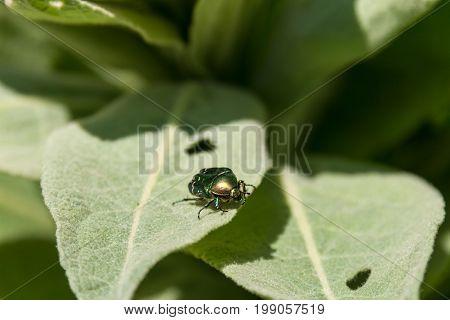 Golden Bronze Big Beetle