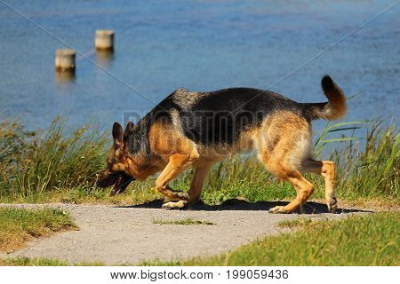 A German shepherd dog who sniffs the soil in search of the good smell in nature near a lake