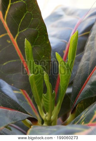 New young sprout of Codiaeum variegatum, purposely blurred leaves on foreground,  focus on the centre