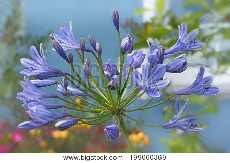 flower macro - blue agapanthus in the garden