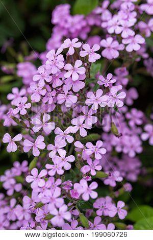 Saponaria Ocymoides - Soapwort Dwarf Perennial