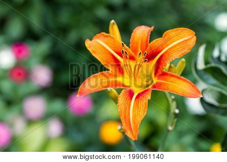 A Flower Of A Tiger Lily