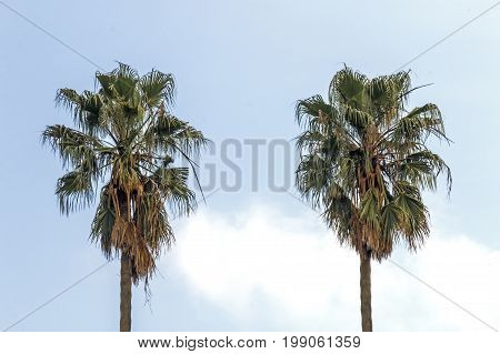 Two isolated dry winter palm trees against blue cloudy sky background