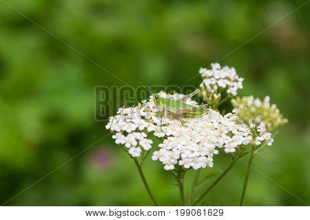 Green Grasshopper On White Flower