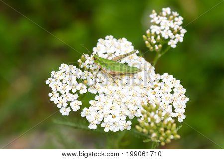 Grasshopper On A Yarrow