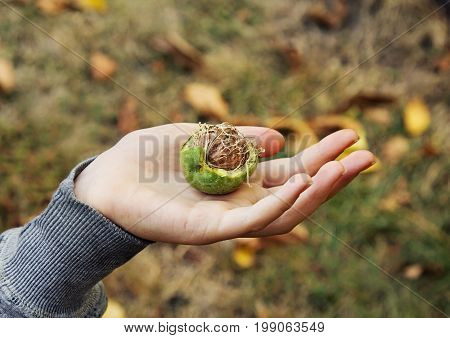 Girl's Hand Holds A Ripe Walnut. Autumn Harvest.