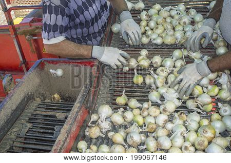 Onion harvester at work. Workers removing rotten onions and clods from conveyor belt platform. Badajoz Spain poster