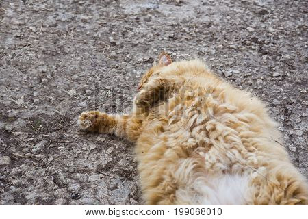 Red Fat Cat Lies On The Ground