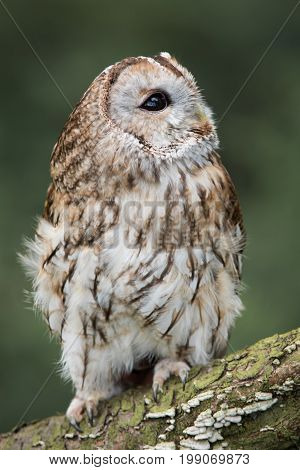close up full length photograph of a tawny owl perched on a log and looking up towards the sky. Upright vertical format