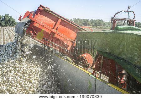 Onions harvester at work. Machine loading truck. Conveyor belt detail