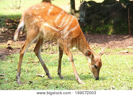 Roe Deer Eating Grass in a Zoo. Side View.