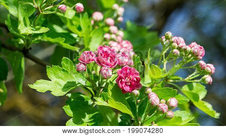 rosaceae ballerina, pink flowers on a branch grow in the garden, bloomed and in buds, small and beautiful, bright green leaves, in background branches of trees and the sky, lit by sunlight, close-up