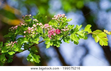 rosaceae ballerina, pink flowers on a branch grow in the garden, bloomed and in buds, small and beautiful, bright green leaves, in the background branches of trees and the sky, lit by sunlight,