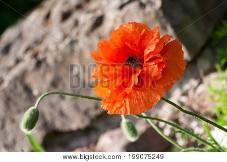 papaver eye catcher, red-orange large terry flower poppy grows in a natural environment, a sunny day, a beautiful big flower in full bloom and two buds, large stone background