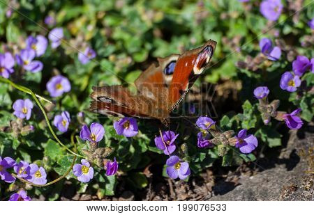 Inachis io, butterfly with wings shades red-brown, red-brown, sit small lilac flowers, feeds, lit by sunlight, natural conditions nature, against background of green small leaves and purple flowers,